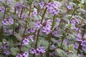 Glechoma hederacea - Michigan Flora