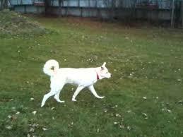 white german shepherd wolf mix puppy. Unique Puppy Chanel The White German Shepard Timber Wolf Mix With Shepherd Puppy D