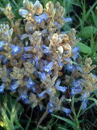 Orobanche ramosa - Wikipedia