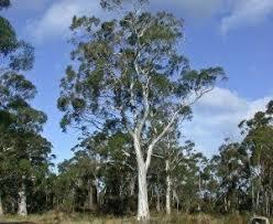 Resultado de imagen para eucalipto