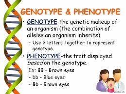 genotype phenotype genotype the genetic makeup of an organism the bination of alleles