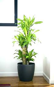 indoor plants indoor trees safe for cats indoor plants for cats poisonous houseplants indoor flowers safe