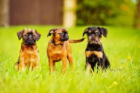 three brussels griffon dogs with rough or smooth coats