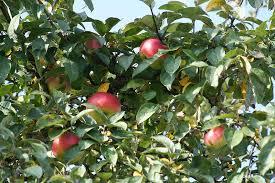 apple tree leaves apple tree fruit