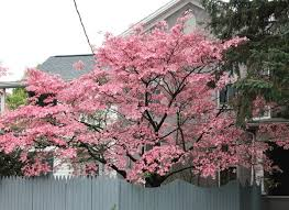 Image result for pink princess dogwood tree