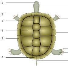 Basic Information Sheet Mediterranean Tortoises Lafebervet