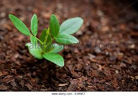 young purple wisteria tree seedling stock image