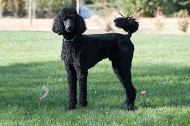 Poodle Puppy Weight Chart Poodle Wikipedia
