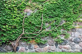 vines wall aged photograph vine growing on a rock wall by gray vineyard vines wallpaper iphone