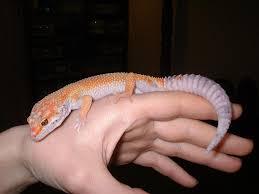 Image result for leopard gecko free images