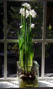 Paper White Flower Bulb Tuesdays Tips Forcing Paperwhites Pt 2 Bees And Chicks