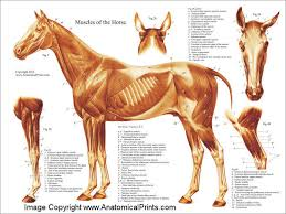 Horse Muscle Poster