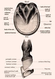 Hoof Care Tips And Anatomy