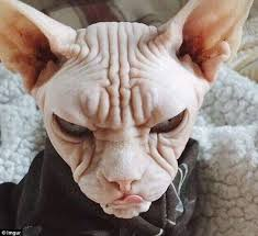 angry hairless cat. Perfect Angry Another Angry Sphynx Cat That Prove They Are The Winners Of Best Scowl  In Animal Kingdom With Angry Hairless Cat N
