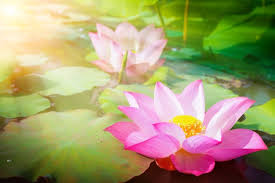Pink Lotus Size Chart Beautiful Pink Lotus Flower In Nature With Sunrise For