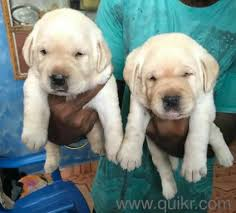 show quality puppies available in banjara hills hyderabad pets on hyderabad quikr clifieds