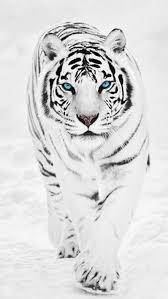 white tiger iphone 5 wallpaper. Contemporary White A White Tiger IPhone 5 Wallpapers To Iphone Wallpaper Pinterest
