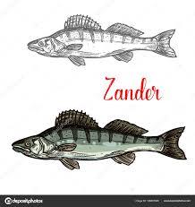 Zander Ryb Vektorové Rybářské Ikona Stock Vektor Seamartini