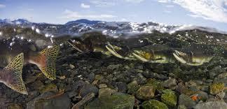 Bristol Bay Salmon Are In Hot Water Hakai Magazine