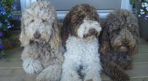 Labradoodle Color Chart The 14 Different Colors Of The Australian Labradoodle