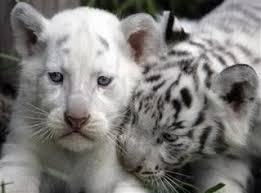baby white tigers for sale.  Sale Beautiful White Lion Tiger Cubs  Cheetah Panther Babies  Lion Inside Baby Tigers For Sale Y