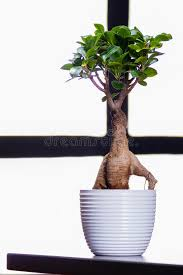 office bonsai. Download Bonsai Tree On A Office Table Stock Image - Of Hand, Garden: