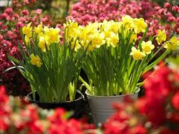 how to plant spring bulbs how to plant daffodils daffodil planting tips spring