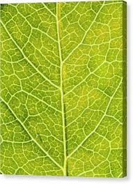 leaf venation canvas print virginia creeper leaf by sinclair stammers science photo library