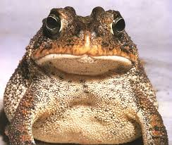 Image result for images of big frog
