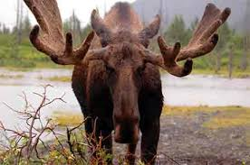 Moose Growth Chart Moose Antlers How They Grow And What They Tell You