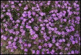 desert plants flowers. Exellent Desert Sand Verbena On Desert Plants Flowers