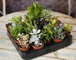 office pot plants. Succulent Mix - Plants House / Office Live Indoor Pot Plant Ideal Wedding Favour