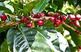 Geisha coffee is not only the most sought after, but it's one of the most expensive beans, as well. Coffea Arabica Gesha Geisha Coffee 20 Seeds Fresh Rare Seeds At Buyrareseeds Com