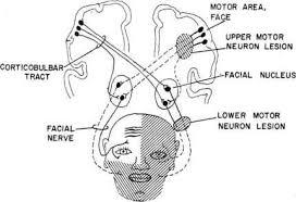 cranial nerve face