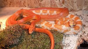 Corn Snakes Are Perfect Pets For Reptile Enthusiasts