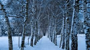 winter mac backgrounds birch trees alley winter mac wallpaper download