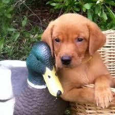 fox red gun dog puppies for uk breed dogs picture