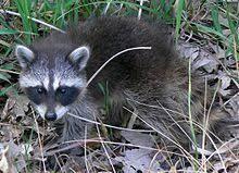 Raccoon Classification Chart Raccoon Wikipedia