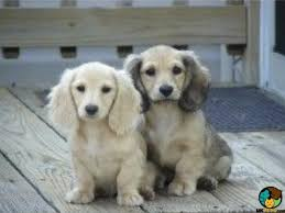 long haired cream dachshund