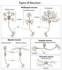 Types Of Neurons Abcn Prep Pinterest Neurons Brain And Types