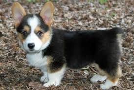 Image result for Cowboy Corgi