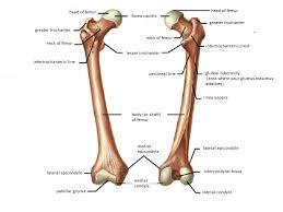 Human foot bones anatomy sketch of orthopedics medicine. Diagram Leg Bones Diagram Femur Full Version Hd Quality Diagram Femur Diagram3 2cvsaintdizier2014 Fr