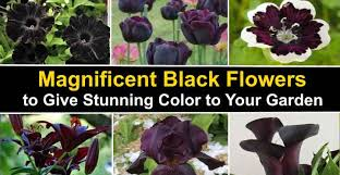 magnificent types of black flowers with