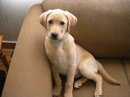 american yellow lab puppies. Perfect American A Yellow Labrador Retriever Puppy Is Sitting Against The Back Of A Tan Couch Inside American Yellow Lab Puppies L