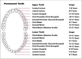 Tooth Chart The Eruption Pattern Of Baby Teeth And
