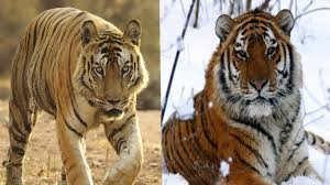 siberian tiger vs bengal tiger. Brilliant Siberian With Siberian Tiger Vs Bengal YouTube