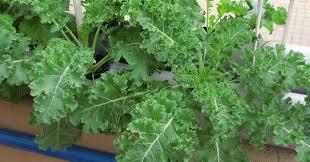 growing kale in your garden