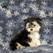 buddy teacup 1250 00 oxford pa morkie yorktese puppy