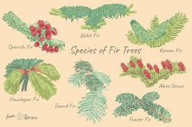 Douglas Fir Growth Chart 12 Easy To Grow Species Of Fir Trees