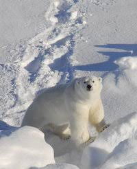 From brown to <b>white</b> – evolution of the polar bear